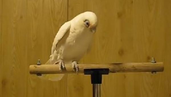 To NIE jest zwyczajna papuga! Poczekaj aż usłyszy muzykę!