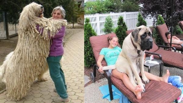 Zdjęcia dużych psów które zapomniały jak są duże. Numer 6 jest super!