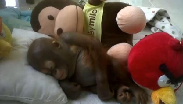 Gdy uratowali tego orangutana był tak słaby że nie mógł siedzieć. Zobacz jak...
