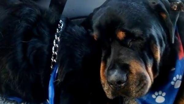 Rottweiler zobaczył że jego brat nie żyje. Co zrobił? Wzruszyłam się do łez.