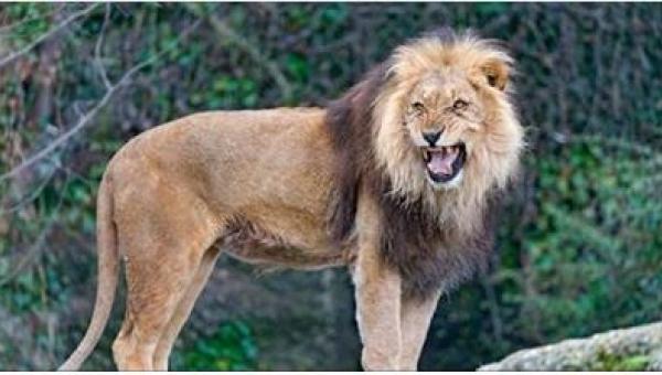 To, co zrobiły trzy lwy po znalezieniu przerażonej dziewczynki, jest niezwykłe!