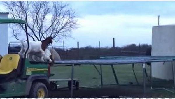 Kozy odkryły trampolinę rolnika. To musiało skończyć się na wesoło!