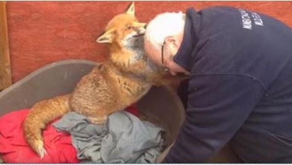 Odwiedza lisa, którego uratował 7 lat temu. Zobaczcie, jak zwierzę reaguje za...