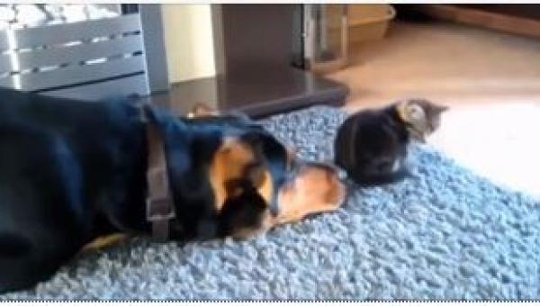 Ten pies tak bardzo chciał zaprzyjaźnić się z kotem, że... spadniesz z...