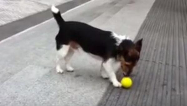 Nikt nie chciał mu rzucić piłki, zobacz co wymyślił ten sprytny pies!