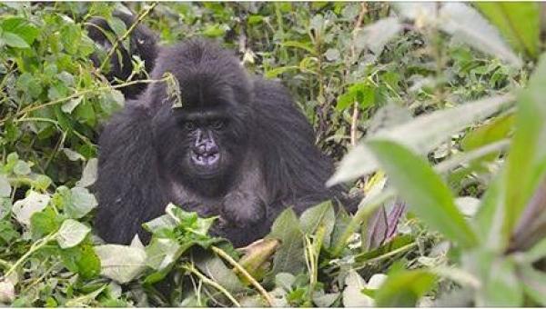 Gdy goryl odwrócił się w ich stronę, nie mogli uwierzyć w to, co trzymał w...