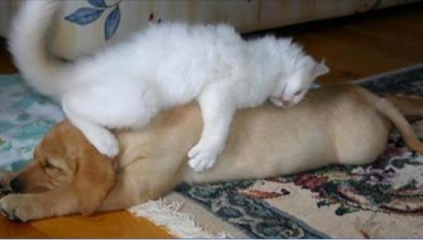 20 kotów, które uważają, że pies to najlepsza poduszka. Numer 18 rozbawił nas...