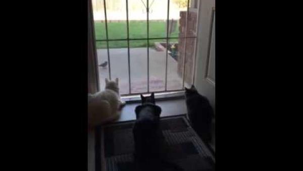 Kiedy zobaczyłam koty obserwujące ptaka sądziłam, że zaraz się na niego...