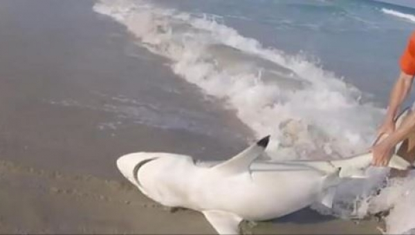 Mężczyzna wyciąga wściekłego rekina z wody, to co robi po chwili jest...