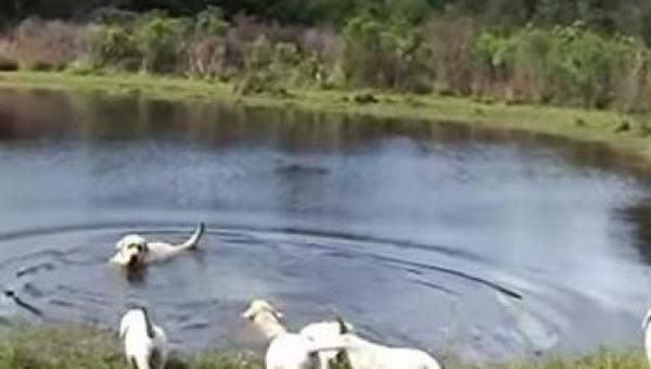 Tata labrador wskakuje do wody, to co robią jego szczeniaki jest niesamowite!