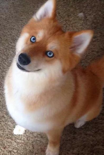 Oto Mya, pies który do złudzenia przypomina lisa.