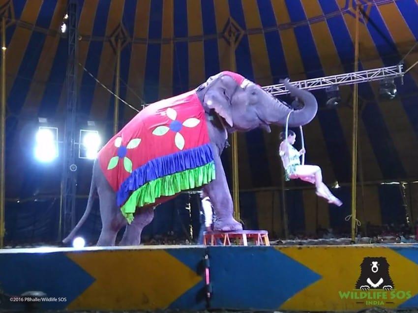 W większości cyrków występy zwierząt są stałym elementem programu.