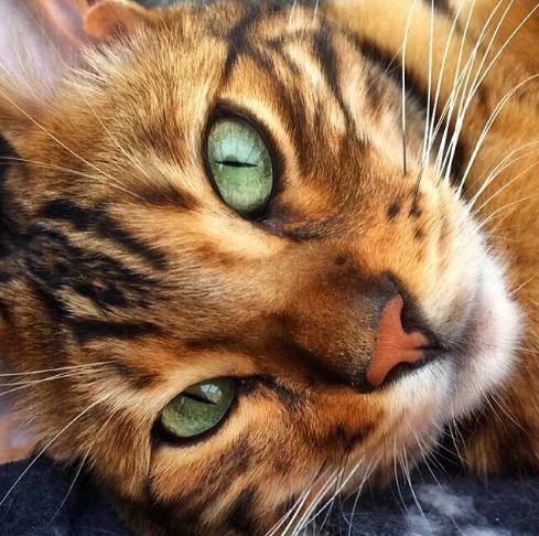 Thor to kot bengalski. Rasa powstała w wyniku skrzyżowania dzikiego kota...