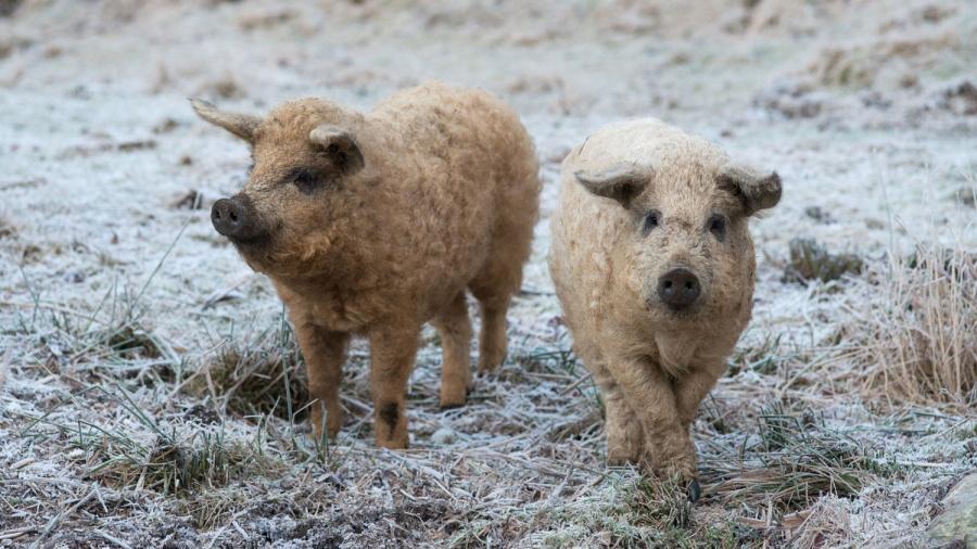 10. Mangalica - świnia węgierska