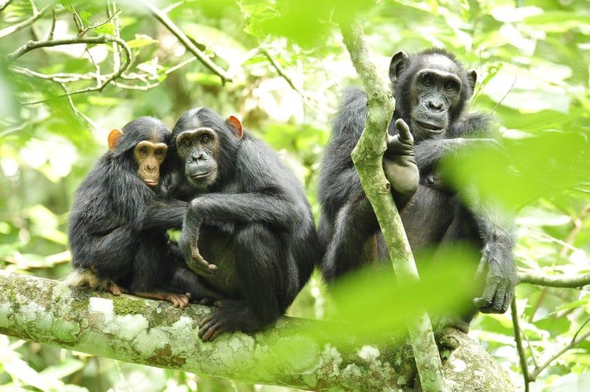 <b>1. Szympansy wchodzą wysoko</b><br><br> Raport z Amerykańskiego Dziennika...