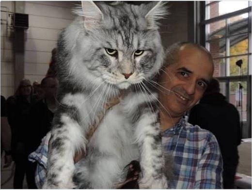 Nie Uwierzycie Ile Ważą Te Koty Rasa Maine Coon Jest Po Prostu