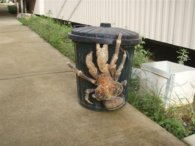 Olbrzymi krab palmowy, nazywany też złodziejem palm.