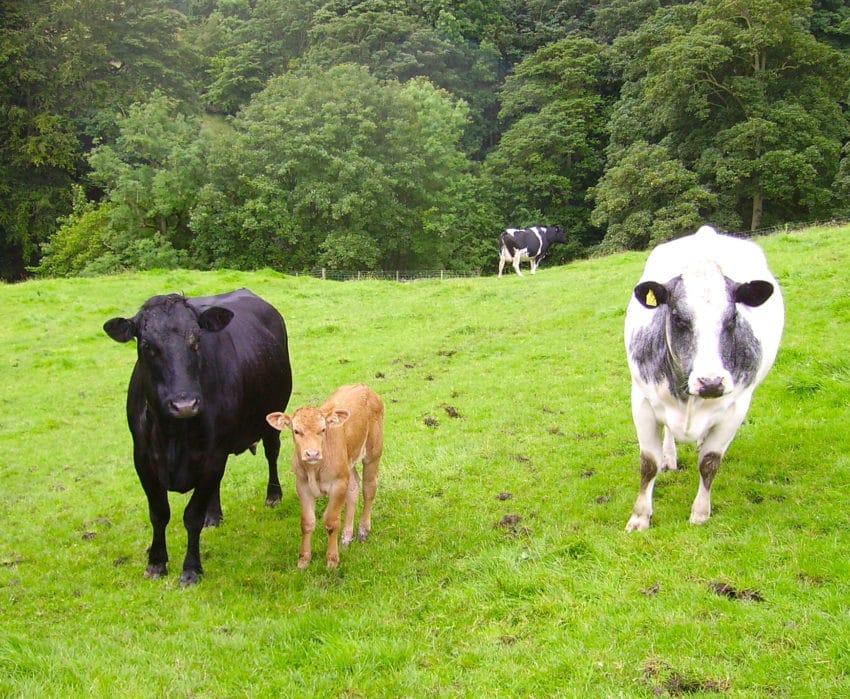 <b>2. Krowy szukają schronienia</b><br><br> Hodowcy bydła zauważyli, że...