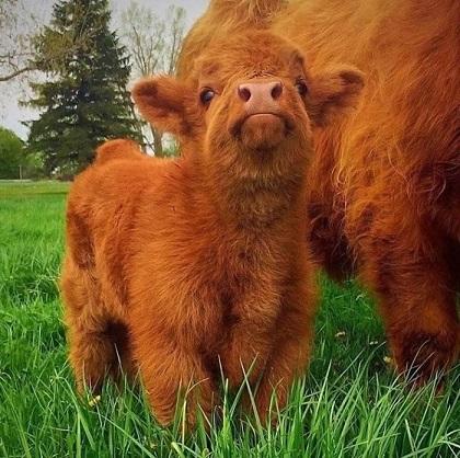 Zdaniem wielu, szkocka rasa bydła do złudzenia przypomina pluszowe zabawki.
