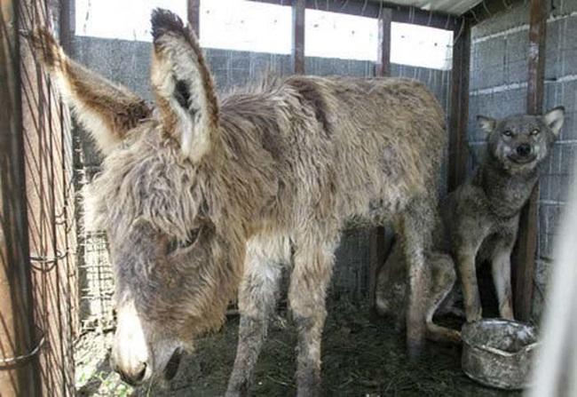 Historia o wilku i ośle trafiła do mediów i po kilku międzynarodowych petycjach
