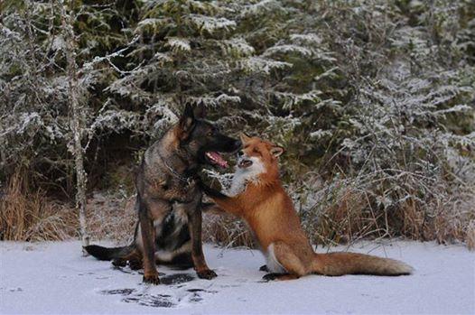 Lisy są trzymane w ciasnych klatkach i zabijane w bestialski sposób. Norweg chce