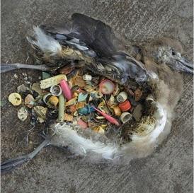 4. Ten ptak zginął z powodu zablokowania jelit przez plastikowe zakrętki.