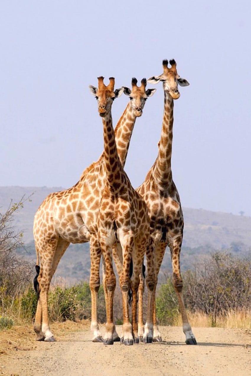 <b>5. Żyrafy szaleją</b><br><br> National Geographic opisało zachowanie...