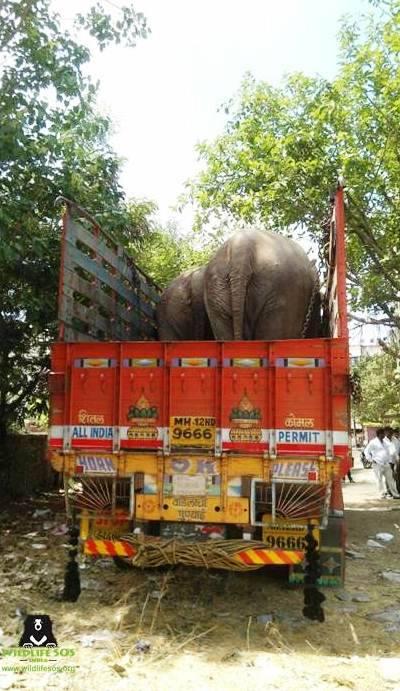 Aby ułatwić słoniom wejście na ciężarówkę, ratownicy użyli koparki, by z...
