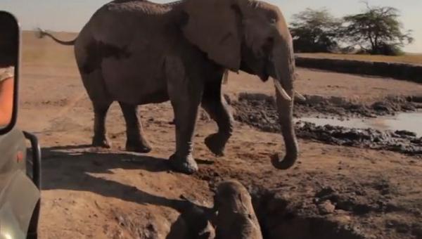 Słonica nie wie jak pomóc maluchowi który utknął w dziurze, zobacz co się...