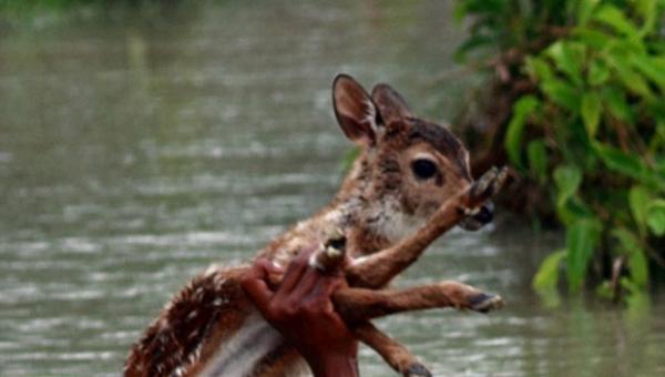 Zobaczył sarenkę topiącą się podczas powodzi i wtedy zrobił coś bardzo odważnego