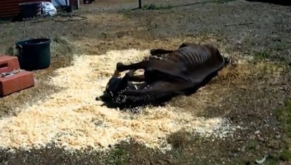 Zagłodzony koń został pozostawiony na śmierć, wtedy znaleźli go dobrzy ludzie