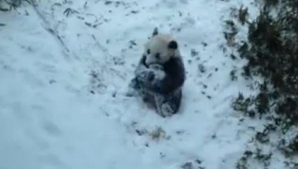 Panda zobaczyła pierwszy raz w życiu śnieg, to co zrobiła potem jest słodkie!