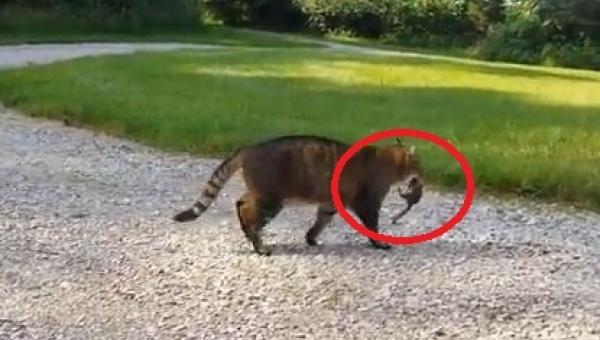 Kot złapał wiewiórkę. To co potem zrobiła wiewiórka jest GENIALNE!