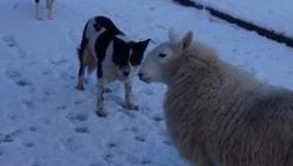 Tej owcy chyba trzeba wytłumaczyć, że jest w błędzie... Czuje się psem!