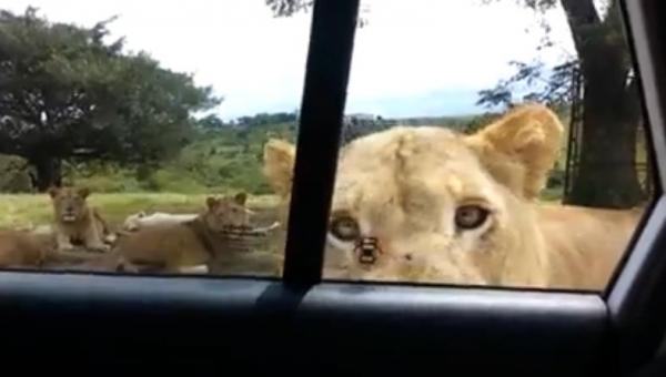 Spokojnie obserwowali dzikie lwy, gdy nagle jedno ze zwierząt zrobiło TO....