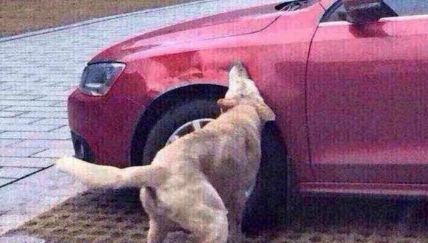 Kierowca całkiem świadomie potrąca psa. Zobacz, co się wydarzyło potem!...