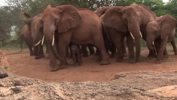 Gdy urodziła, otoczyły ją inne słonie. Gdy zobaczysz, po co to zrobiły,...