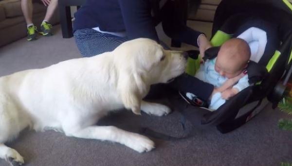 Ich pies poznaje nowego członka rodziny. Jego reakcja na widok dziecka jest...