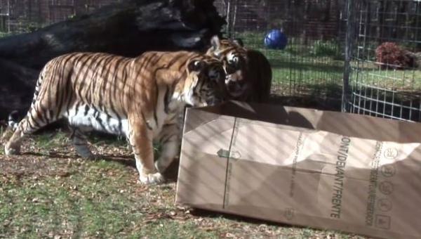 Pracownik zoo zostawił na wybiegu dla dużych kotów karton... Zgadnij, co...