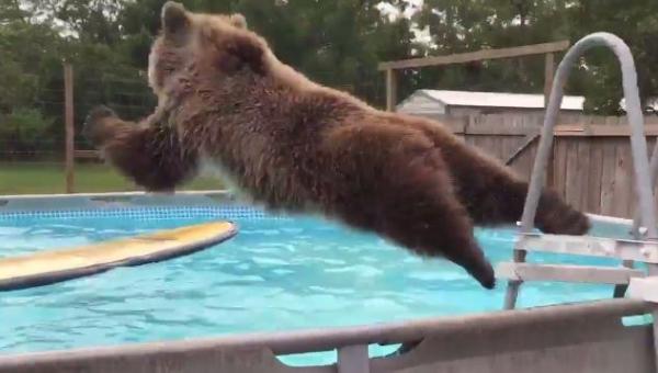 Widzieliście kiedyś niedźwiedzia pływającego w basenie? Teraz macie okazję!...