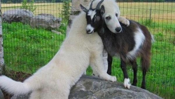 Te psy spotkały na swojej drodze kozy i... kompletnie się w nich zakochały ;)...