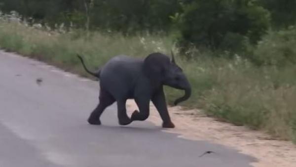 Słoniątko wybiegło na drogę, aby się pobawić z wyjątkowymi przyjaciółmi....