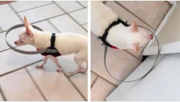 Założyli psu metalową obręcz, gdy zobaczysz po co, będziesz pod wrażeniem