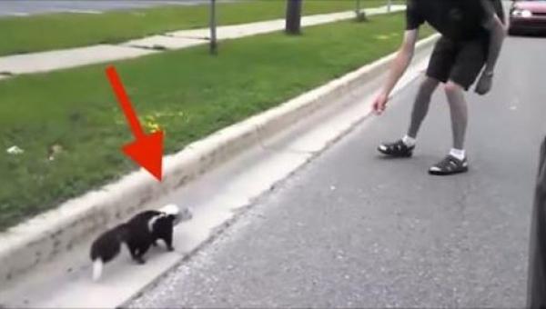 Ten skunks wygląda jakoś dziwnie... Gdy chłopak zbliżył się, by mu pomóc, nie...