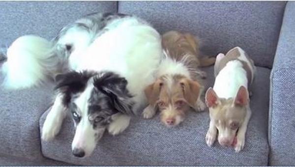 Trzy psy usiadły na sofie. Przypatrz się uważnie najmniejszemu!