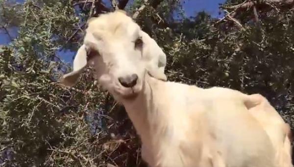 Gdy dowiesz się dlaczego ta koza weszła na drzewo będziesz w szoku!