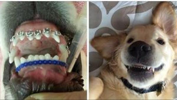 To pierwszy na świecie pies, któremu założono aparat na zęby! Ma jednak...