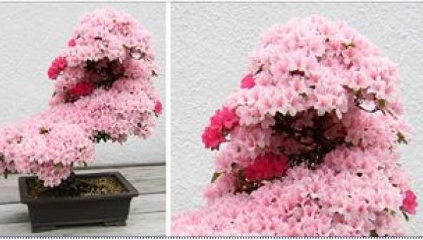 15 najpiękniejszych bonsai z całego świata! Też będziecie marzyć o tym, by...