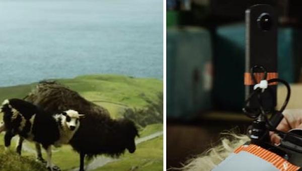 Umieściła kamery na grzbietach 5 owiec. To co nagrała zachęci Was do...