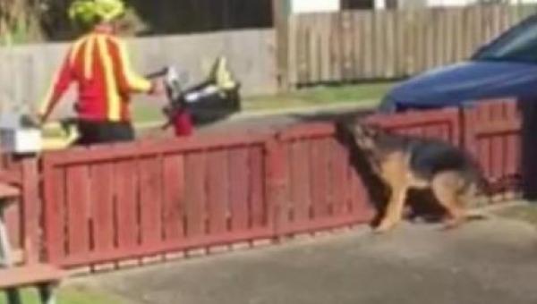 Właściciel ukrył się za firanką i nagra spotkanie psa z listonoszem. W 0:12...